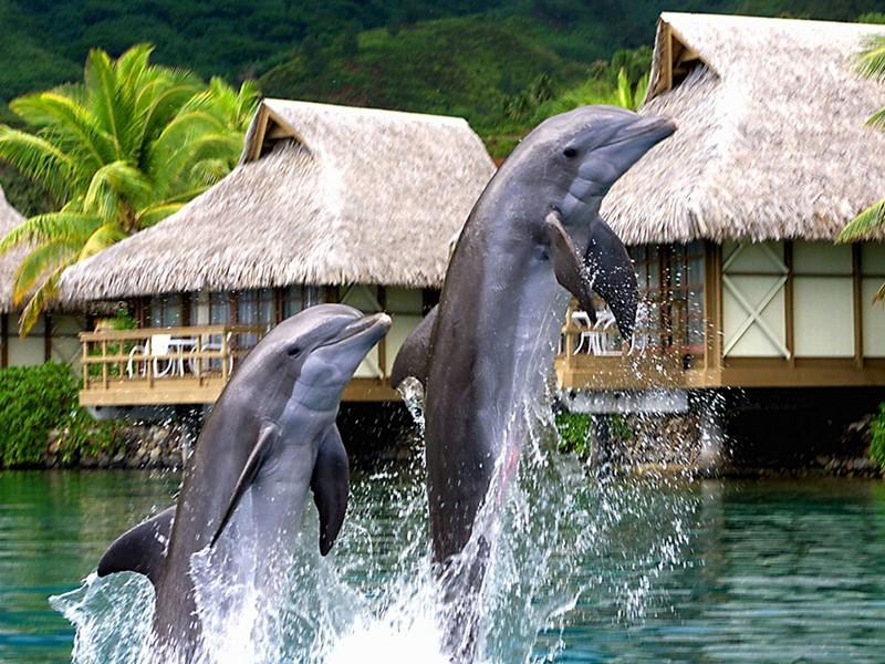Vous vivrez une expérience inoubliable en nageant avec les dauphins au Moorea Dolphin Center