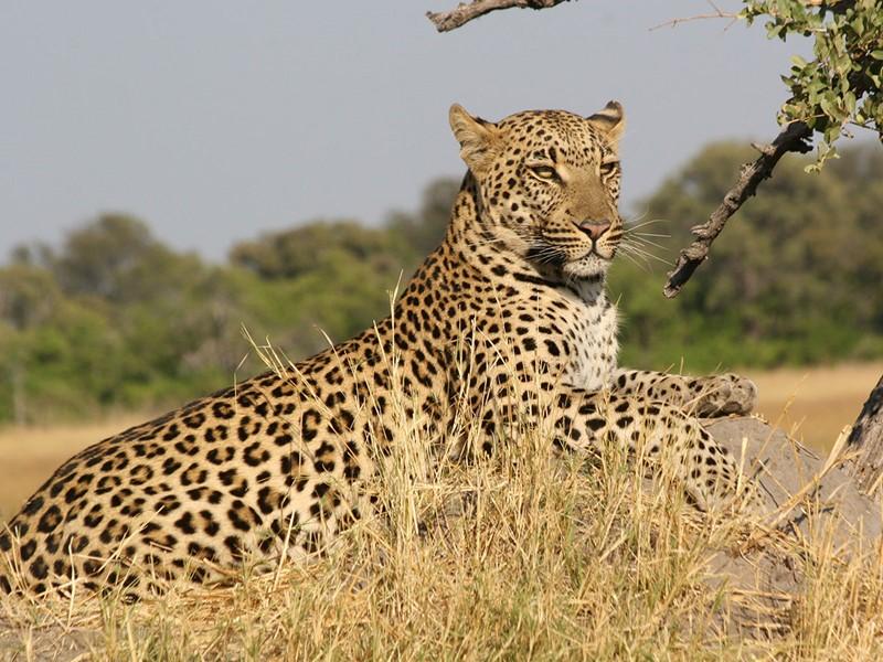 Les léopards des plaines de Serengeti