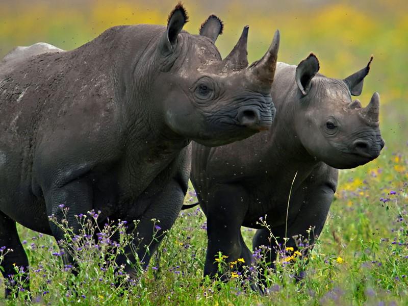 Les rhinocéros du Ngorongoro en Tanzanie