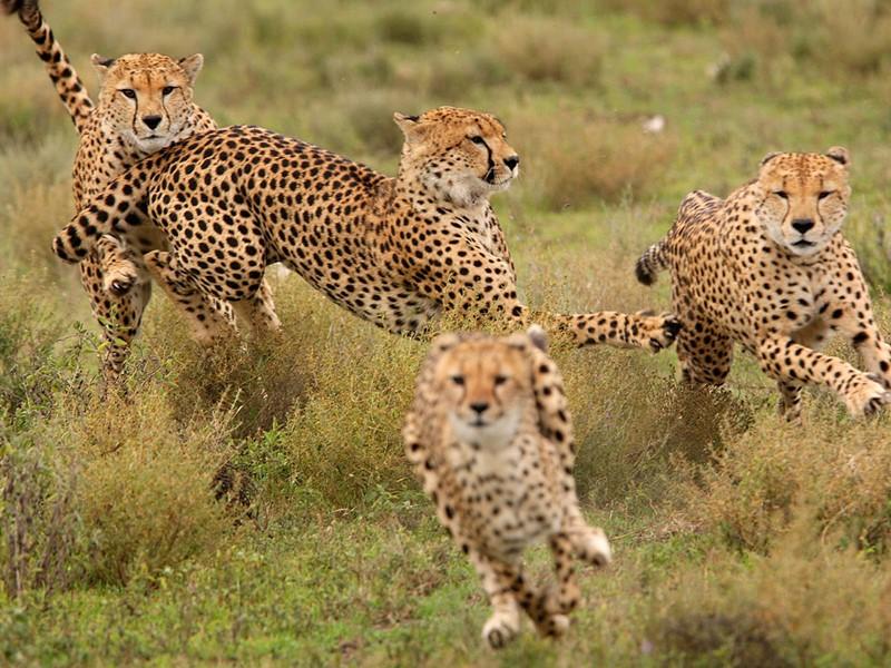 Les léopards du Ngorongoro en Tanzanie