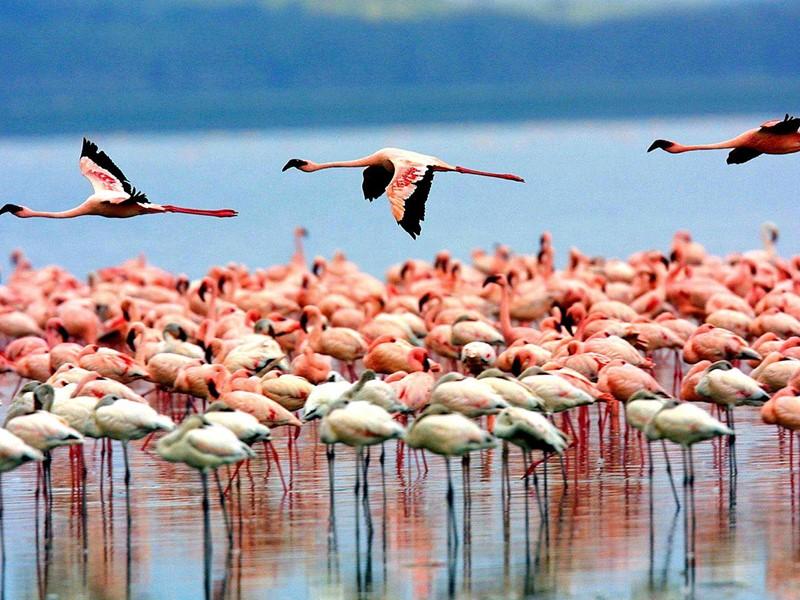 Vue des flamands rose du lac Manyara