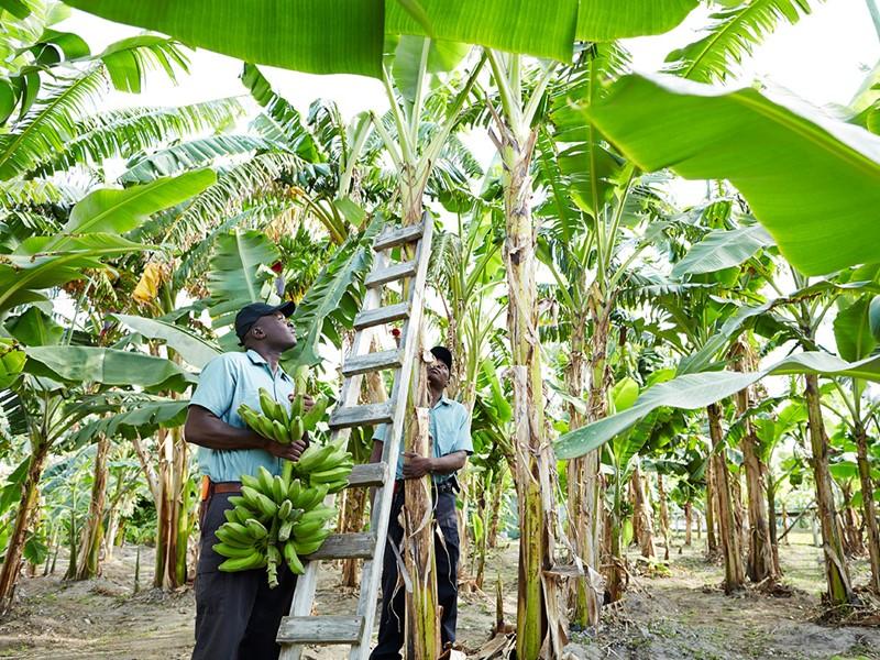 Plantation de bananiers au Parrot Cay & Como Shambala