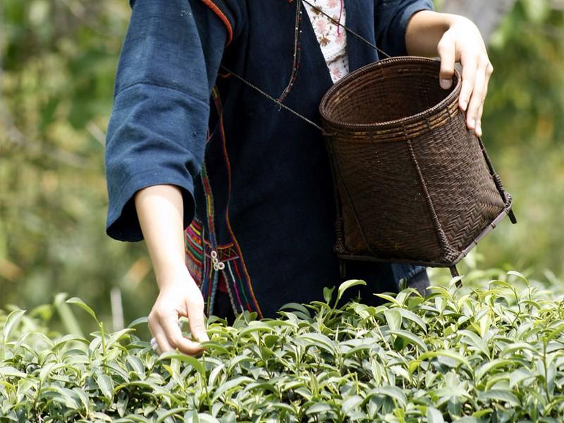 Découvrez la cueillette du thé au Phu Chaisai Mountain Resort & Spa