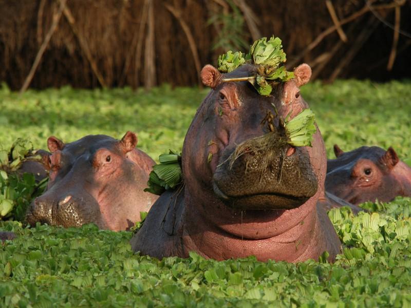 Hippopotames dans le parc Manyara en Tanzanie