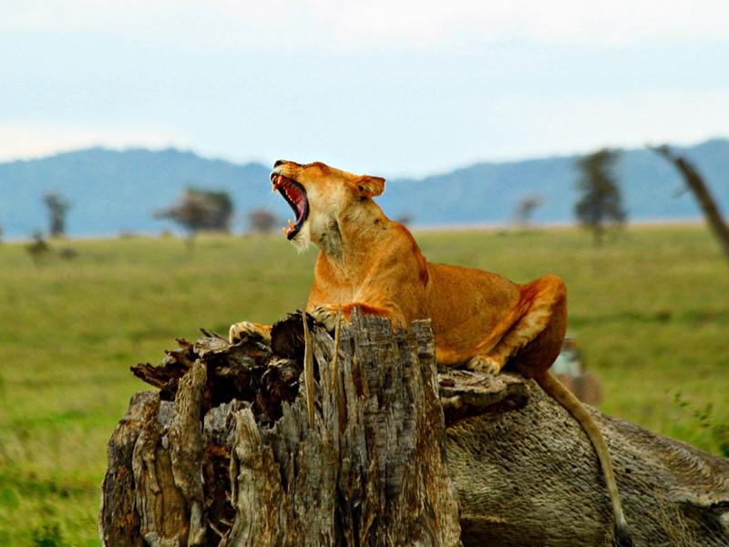 Lion dans le parc Serengeti en Tanzanie