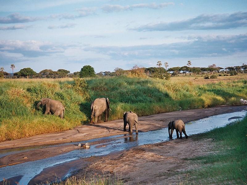Les éléphants du parc de Tarangire en Tanzanie