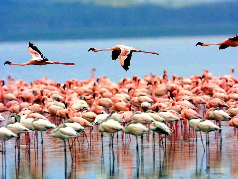 Vue des flamands rose du lac Manyara en Tanzanie