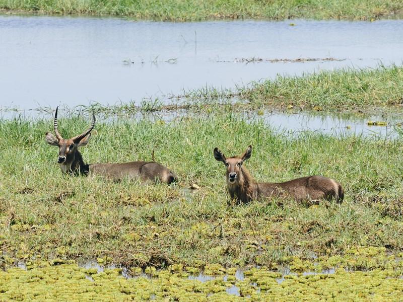 Des antilopes Cobe dans le marais de Tarangire