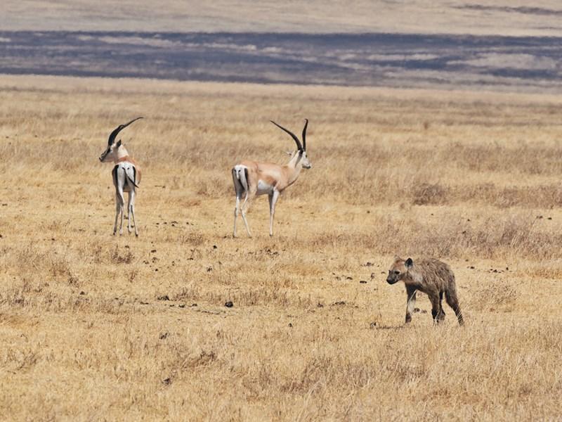 Hyène et antilopes cohabitant dans le cratère Ngorongoron