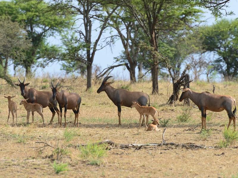 Famille d'antilopes Bubale