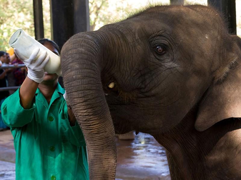 Tétée au biberon des éléphanteaux de Pinnawela