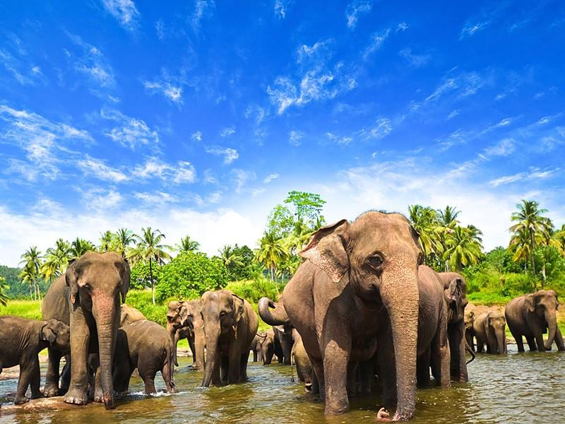 Les éléphants de Minneriya au Sri Lanka