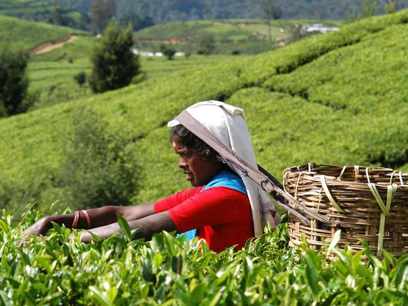 Plantation de thé à Nuwara Eliya