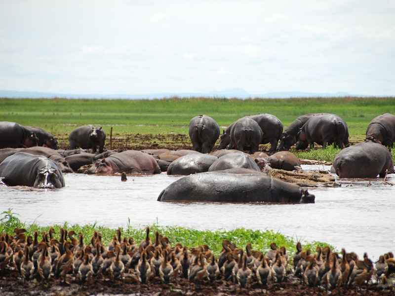 Les hippopotames du lac Manyara