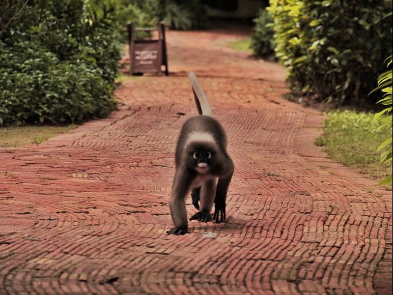 Les singes langur du Rayavadee