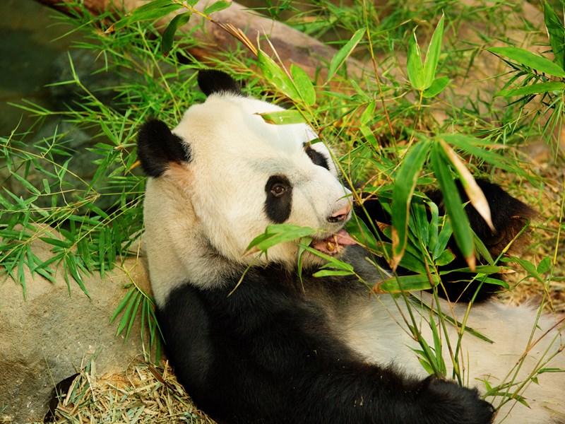 Rencontrez Jia Jia et Kai Kai dans la Giant Panda Forest