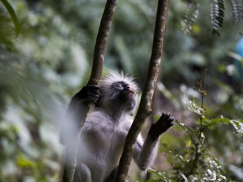Découvrez la forêt de Jozani, et admirez les petits singes qu'y peuplent les lieux