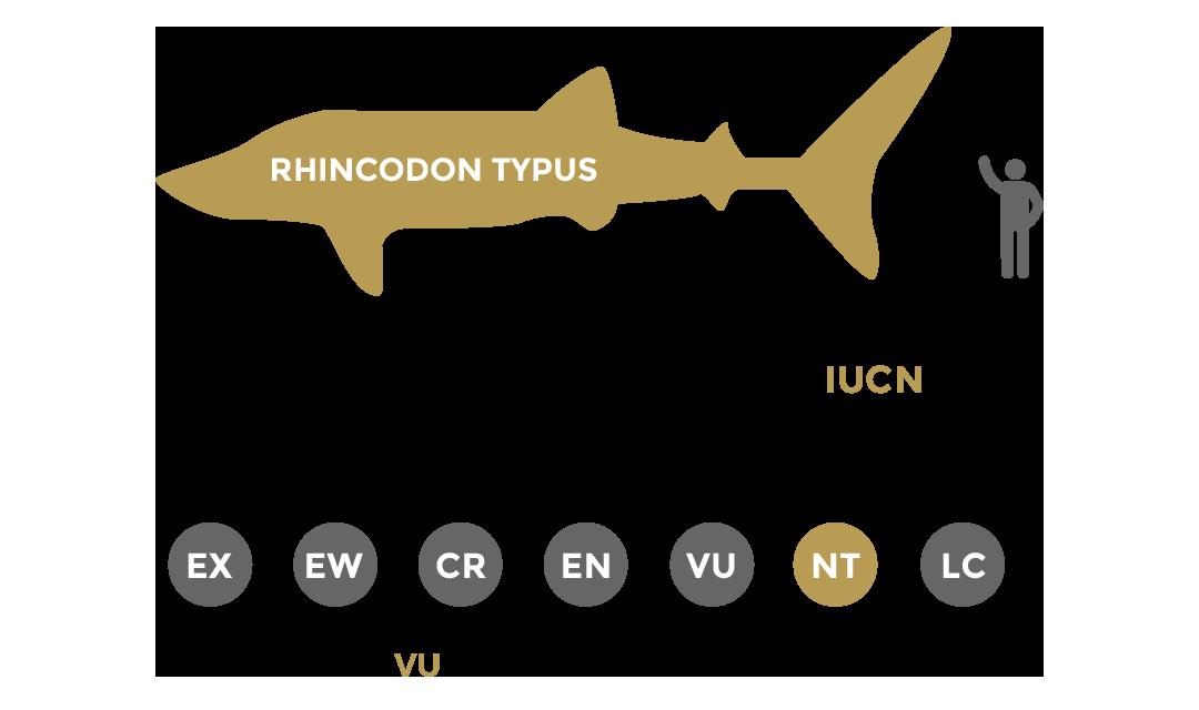 Statut de conservation du requin-baleine, le rhincodon typus